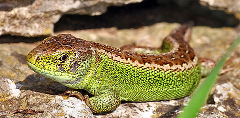 Zauneidechse Männchen