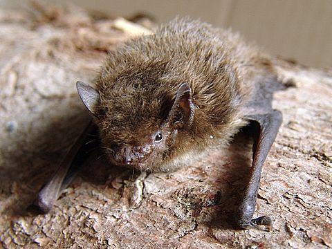 Rauhautfledermaus Pipistrellus nathusii