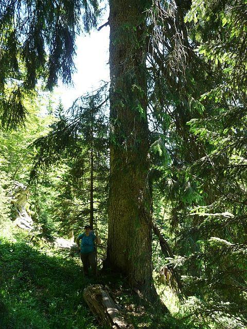 Baumriese im Sillingwald
